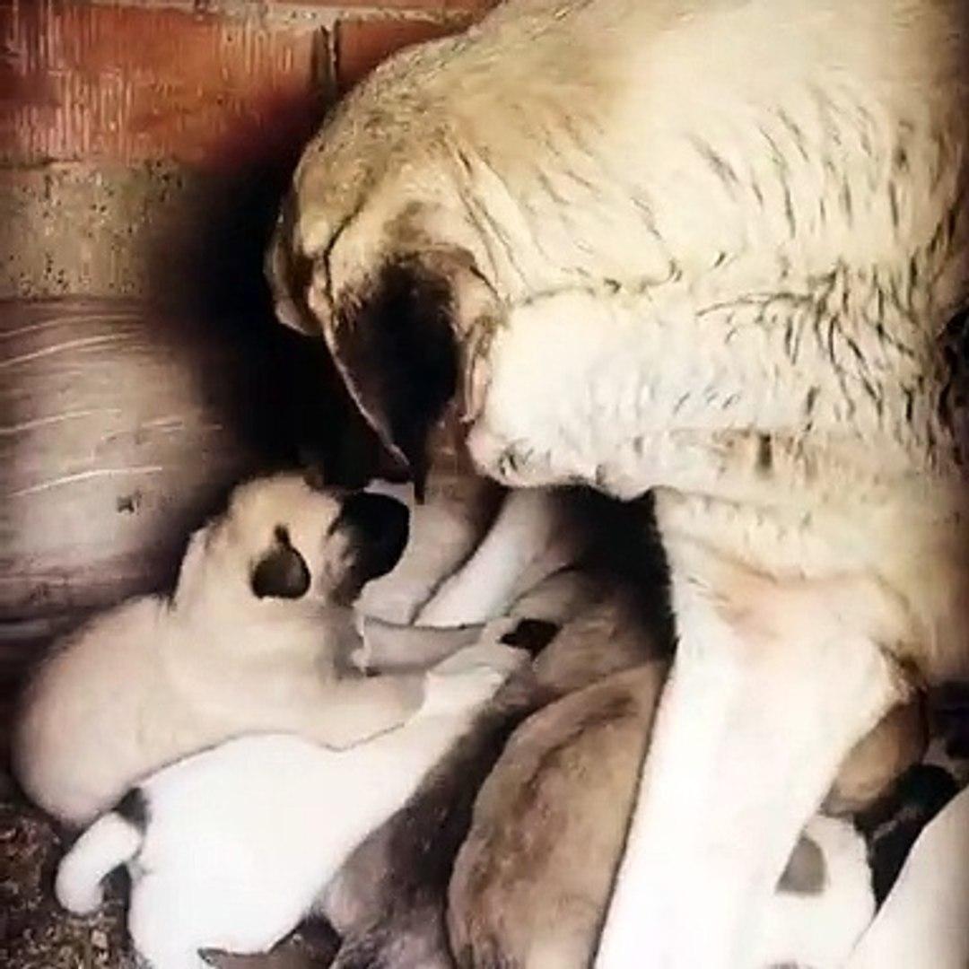 COBAN KOPEKLERiNE SABAH KAHVALTISINDA ANNE SUTU - ANATOLiAN SHEPHERD DOG PUPPiES MiLK MOM