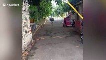 Ostriches rampage through streets in front of shocked locals in the Philippines