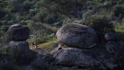 Madre lince jugando con sus cachorros