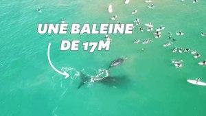 Une baleine et son petit s'invitent au milieu d'une dizaine de surfeurs