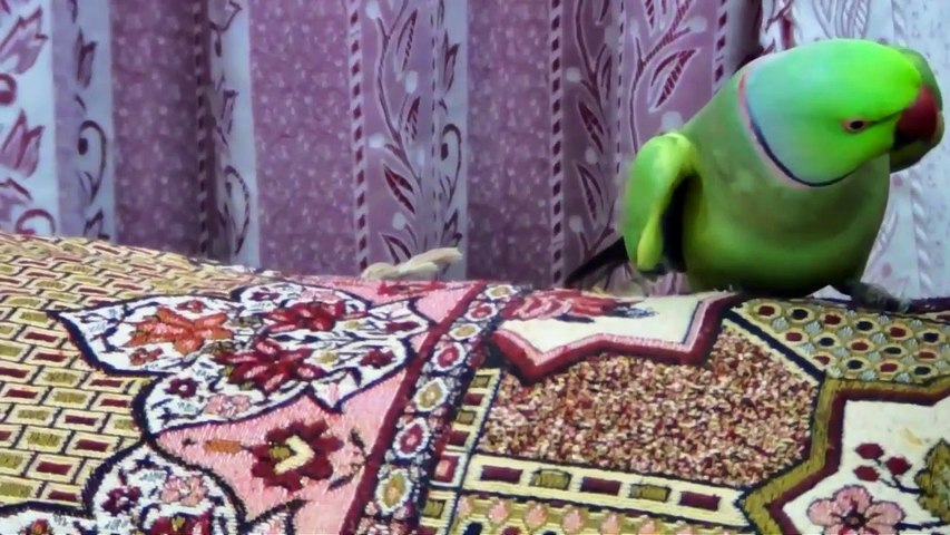 Tous les matins, ce perroquet réveille son maitre d'une façon adorable