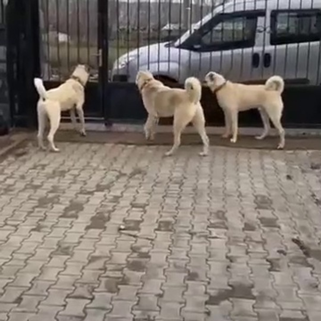 SiMiT KUYRUK KANGALLARA GUZEL ORNEK - SiVAS KANGAL ANATOLiAN SHEPHERD DOGS