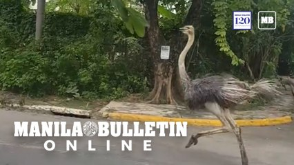 A week of animals on the loose in the Philippines