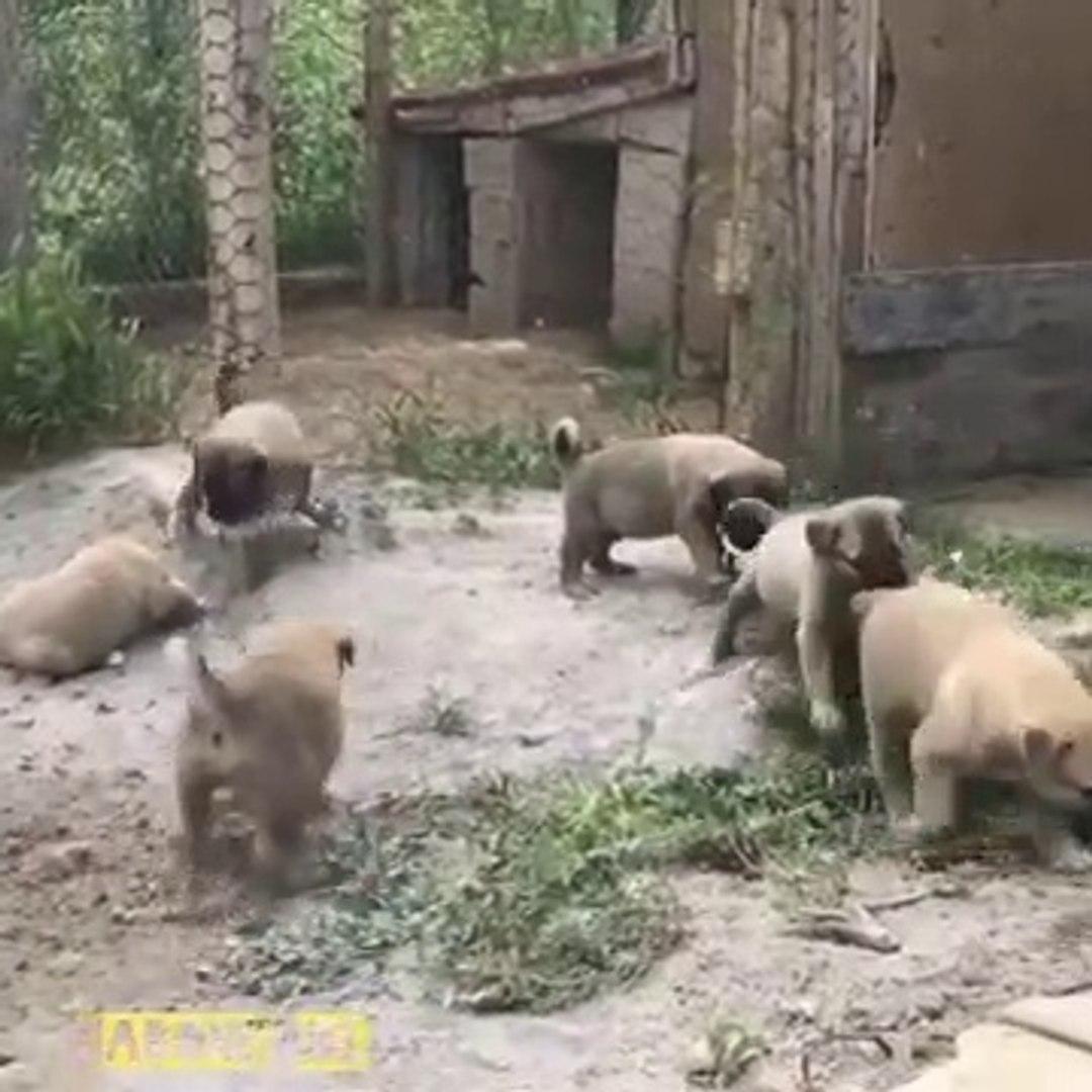 SiVAS KANGAL KOPEGi YAVRULARI BAHCEDE - KANGAL DOG PUPPiES at GARDEN