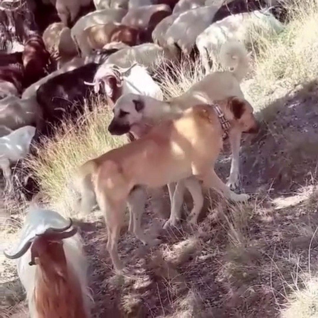 ANADOLU COBAN KOPEKLERi GOREV BASINDA HAZIR KITA - ANATOLiAN SHEPHERD DOGS