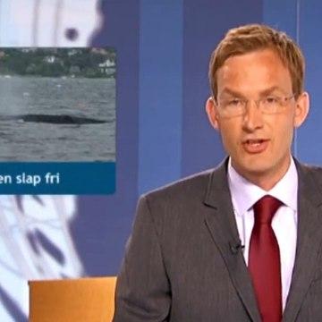 Hvalen slap fri | Finhvalen | Vejle | 18-06-2010 | TV SYD @ TV2 Danmark