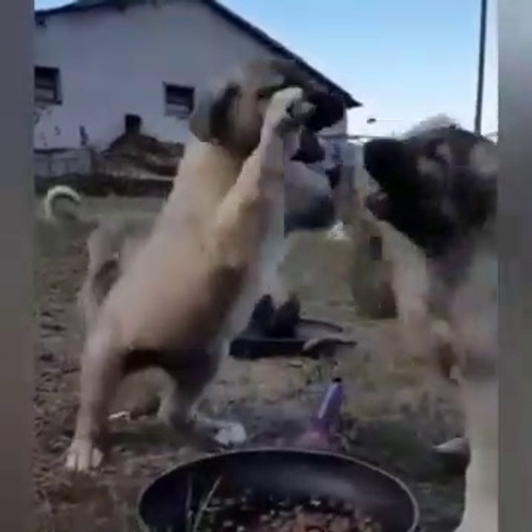 SiVASA KANGAL KOPEGi YAVRULARI SABAH KAHVALTISI vs - KANGAL DOG PUPPiES at BREAKFAST vs