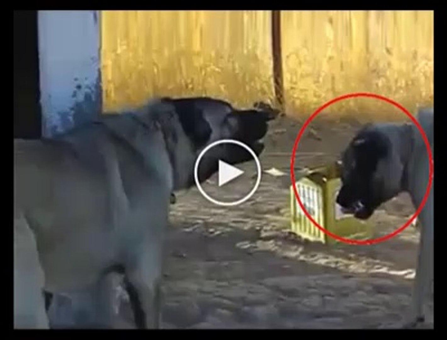 SiVAS KANGAL KOPEKLERi ATISMALARI - ANATOLiAN SHEPHERD SiVAS KANGAL  DOGS