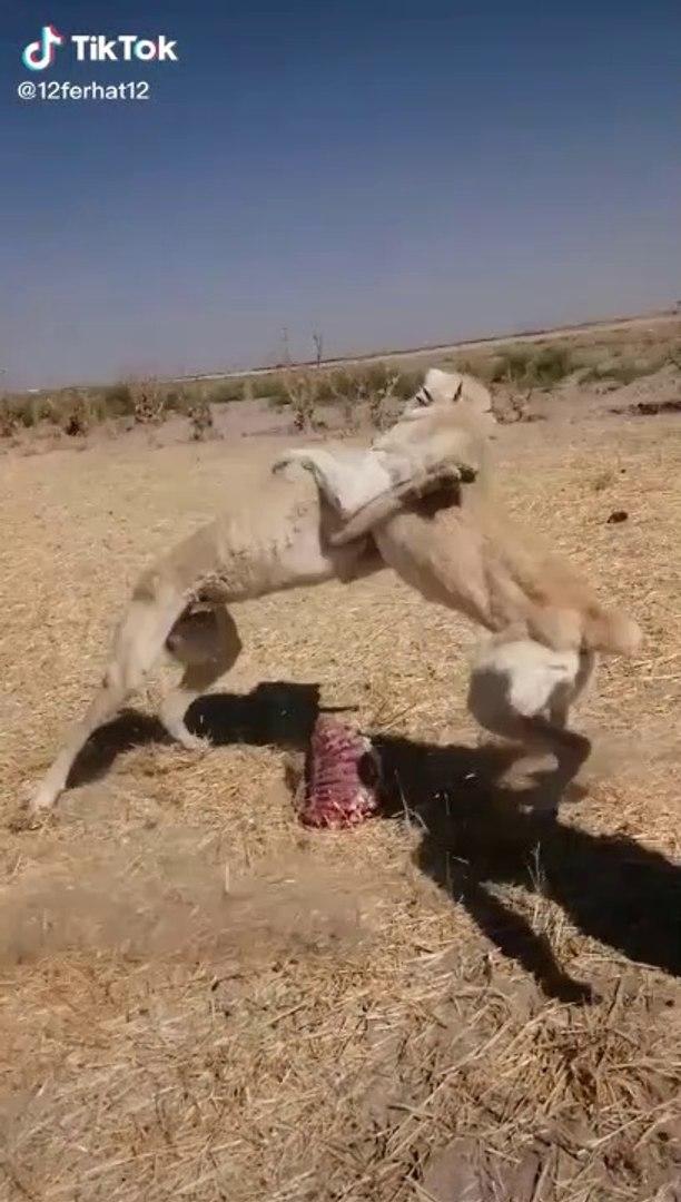 SiVAS KANGAL KOPEKLERiNiN YEMEK PAYLASIMINDA YANLIS ANLASILMA - KANGAL SHEPHERD DOGS VS