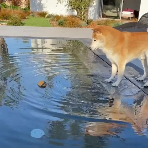Dog Struggles to Reach Ball Floating in the Pool