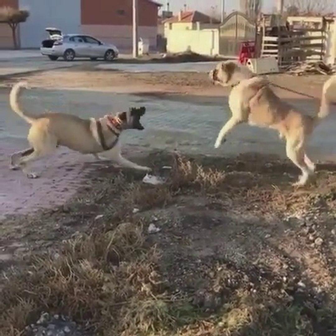 ANADOLU COBAN KOPEKLERiNDEN ATISMA ANLARI - ANATOLiAN SHEPHERD DOGS VS