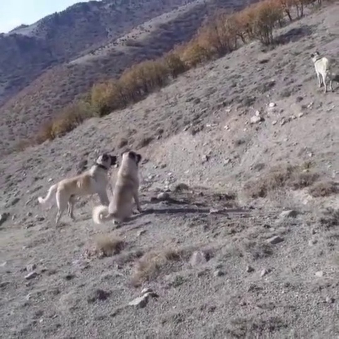 SiVAS KANGALLAR GOREV BASINDA - KANGAL DOGS at MiSSiON