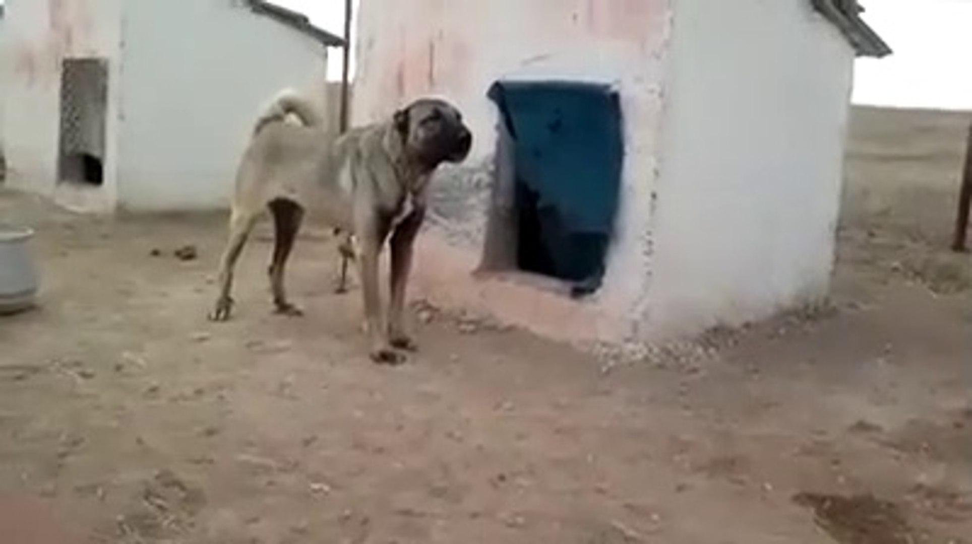 KOPEK CiFTLiGiNDE ASIRI ADAMCI KANGAL KOPEGi - KANGAL DOG in FARM