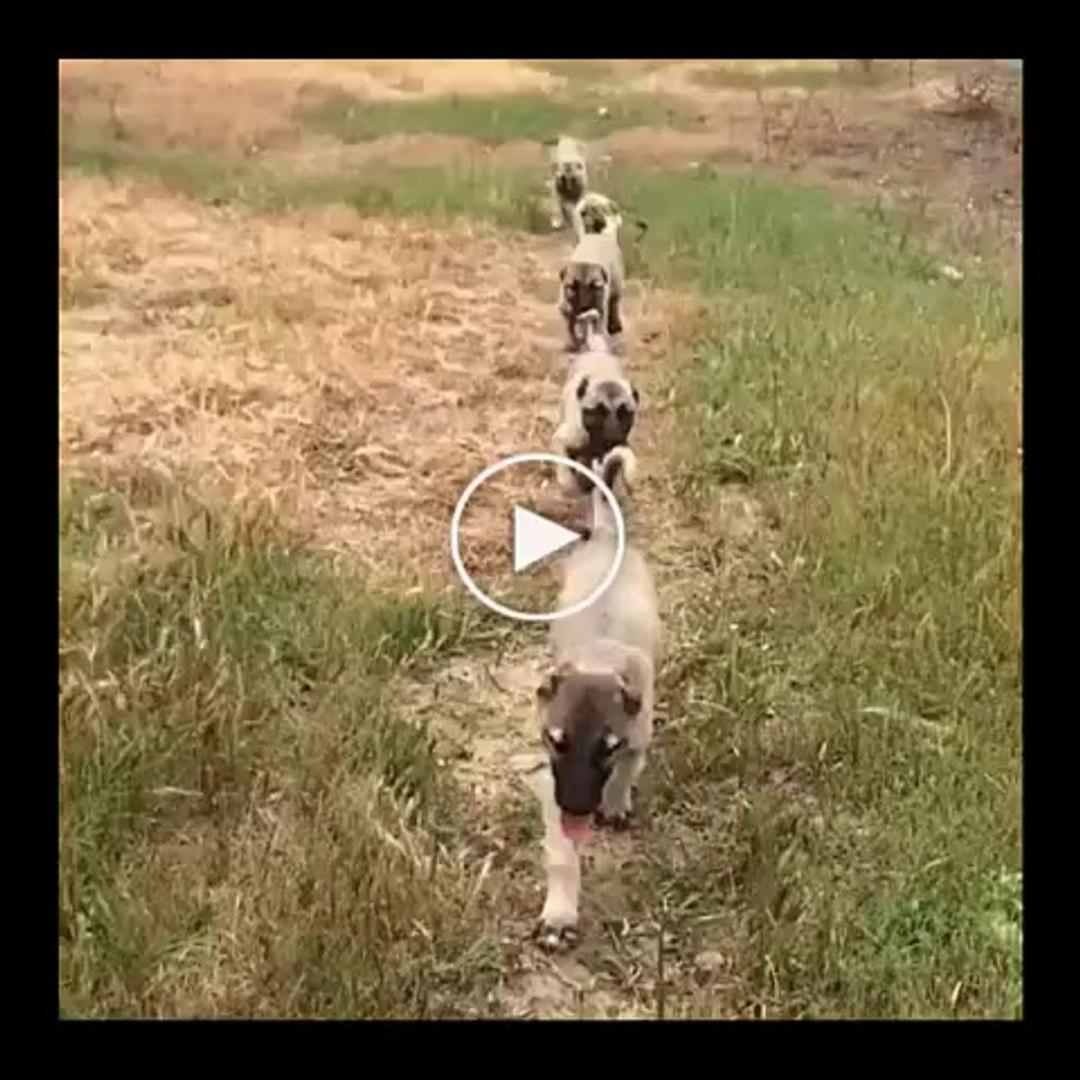 SiVAS KANGAL KOPEK YAVRULARI SABAH SPORU - SiVAS KANGAL DOG PUPPiES MORNiNG EXERCiSE