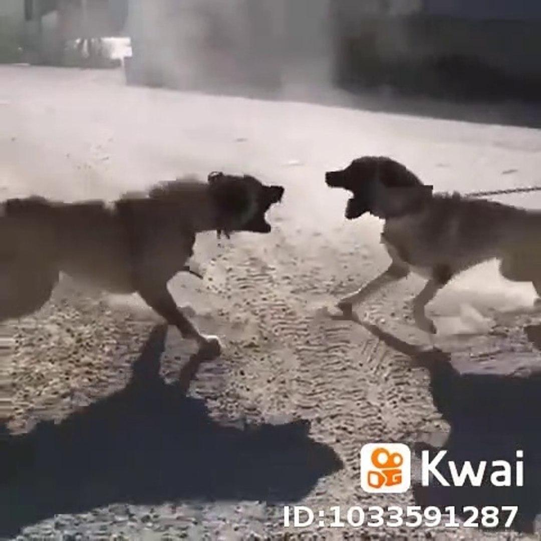 SiVAS KANGAL KOPEKLERiNDEN YAKIN ve SERT ATISMA - KANGAL DOGS VS NEAR