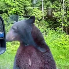 Curious Bear Stands to See into Car