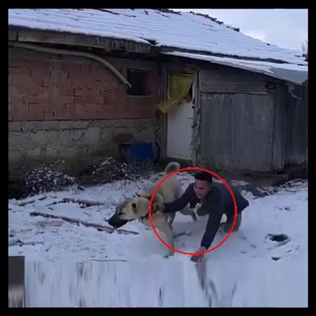 TAVUK KOVALAYAN ANADOLU COBAN KOPEGi - CHiCKEN vs ANATOLiAN SHEPHERD DOG