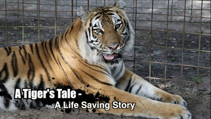 A Tiger's Tale - A Life Saving Story, Episode 2