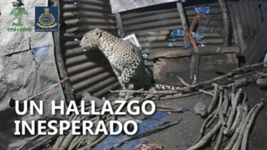 Una leoparda da a luz a cuatro cachorros en la cabaña de un granjero en la India