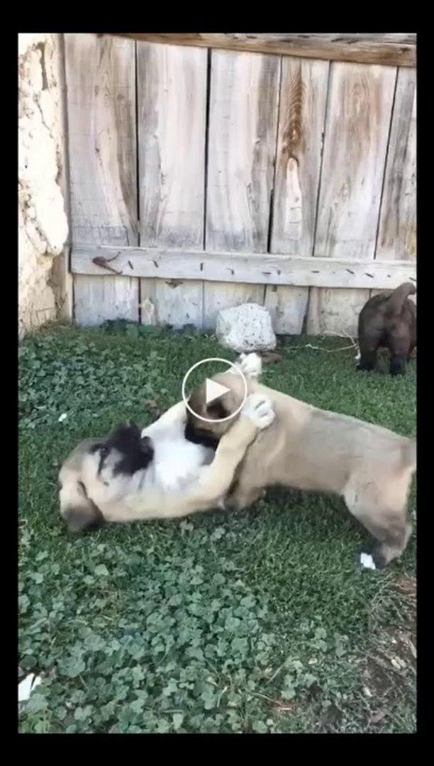 KURTCU ANADOLU COBAN KOPEK YAVRULARI - PUPPY ANATOLiAN SHEPHERD DOGS