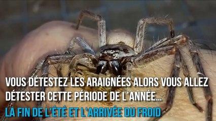 Des araignées énormes envahissent les maisons de France