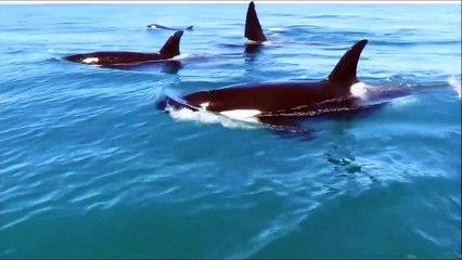 Quand 10 orques suivent un jet ski de très près... Inquiétant