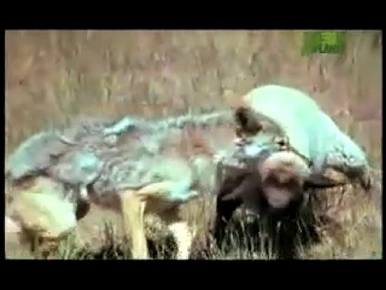 KURTLARIN KOYUNLARA PUSU ATISI VE AVLAMASI - WOLVES VS SHEEPS