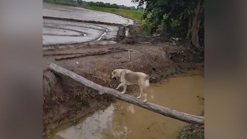 Un chien joue les funambules et termine dans l'eau
