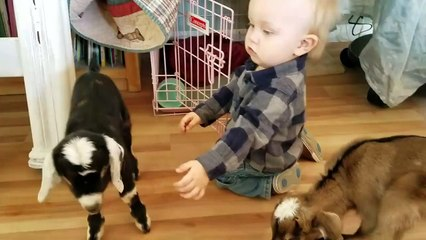 Baby Playing With Baby Goats