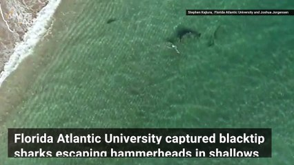 Dramatic Video Shows Small Sharks Fleeing to Shallow Water to Escape Huge Hammerhead