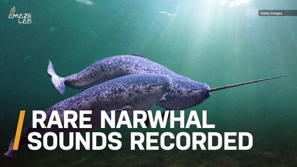 Listen to This Rare Audio of Narwhal Buzzes, Clicks and Whistles Captured