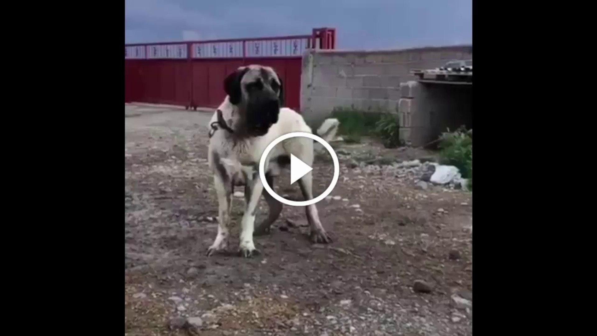 AKSARAY MALAKLI KOPEK YAVRUSU - ANATOLiAN SHEPHERD AKSARAY MALAKLI DOG PUPPY