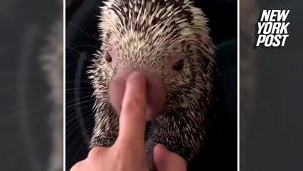 Porcupine lets his defenses down for a nose massage