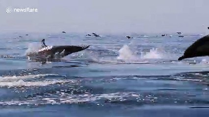 Dolphin megapod stampeding off coast of Newport Beach, California wows onlookers