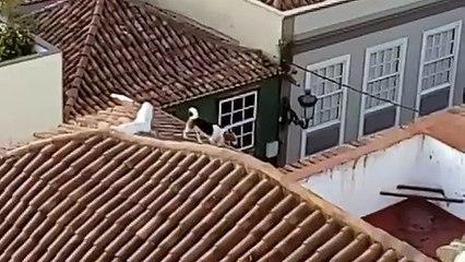 Un perrito campa a sus anchas por los tejados de casas en La Laguna