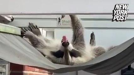 Sunbathing raccoon turns family's awning into a hammock
