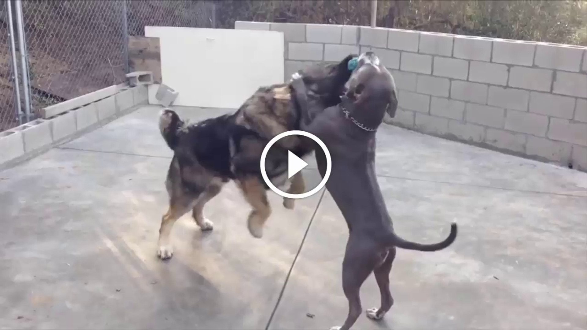 PiTBULL KOPEGi vs KAFKAS COBAN KOPEGi - PiTBULL DOG vs CAUCASiAN MOUNTAiN DOG
