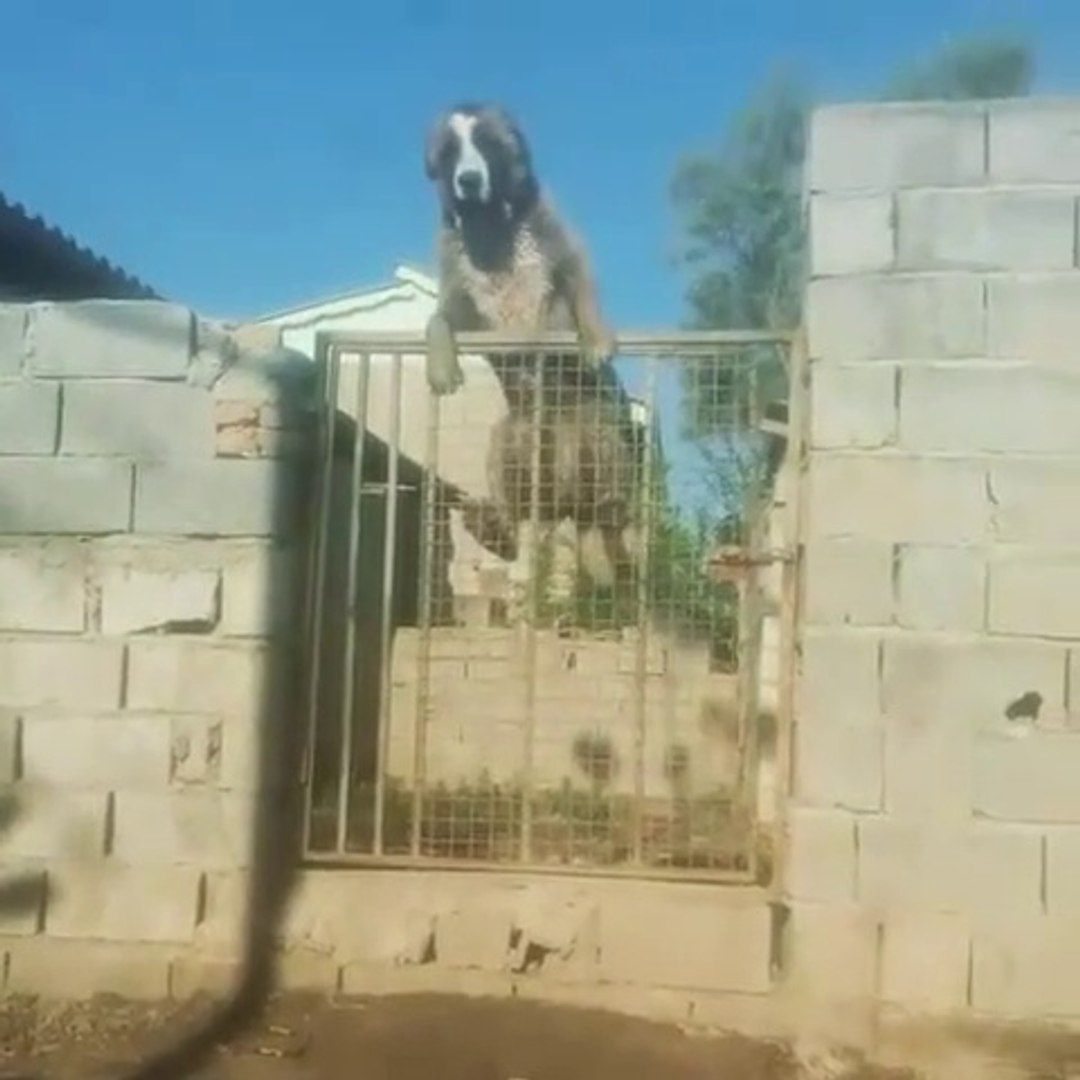 ALABAY COBAN KOPEGiNiN BAHCEDEN KACISI - ALABAI SHEPHERD DOG ESCAPE FROM THE GARDEN