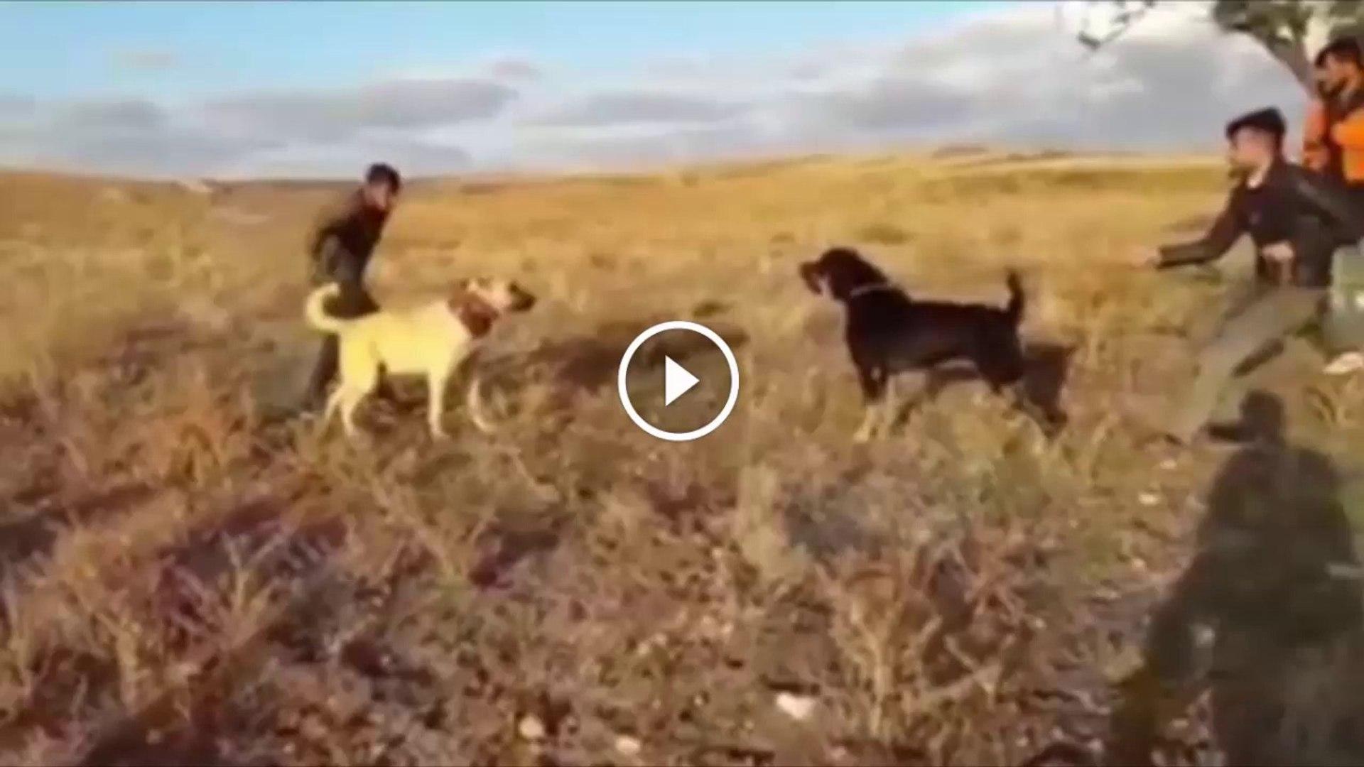 SiVAS KANGAL KOPEGi vs ROTWAiLLER - ANATOLiAN SHEPHERD KANGAL DOG vs ROTWEiLLER DOG