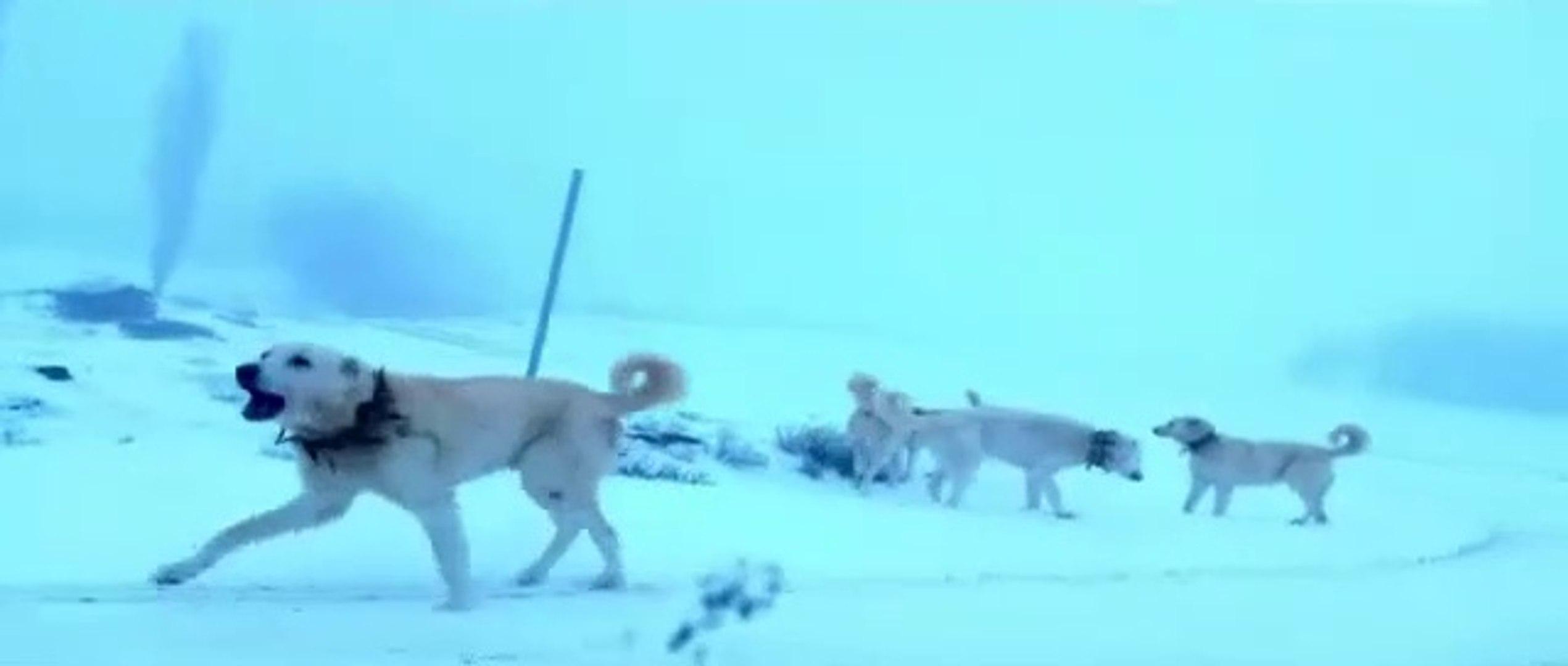 AKBAS KOPEKLERi ARABA KOVALIYOR - ANATOLiAN SHEPHERD DOG AKBASH