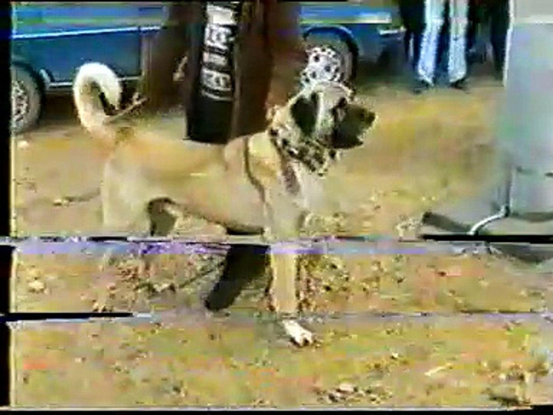 ESKiLERDEN AKSARAY MALAKLI KOPEGi - OLD ANATOLiAN MALAKLI SHEPHERD DOG