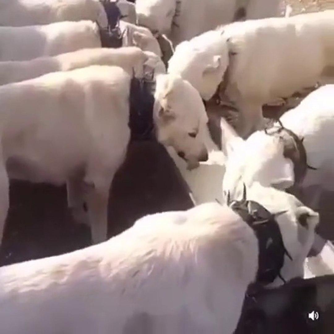 AKBAS COBAN KOPEKLERi GOREV SONRASI ODUL YEMEGi - AKBASH SHEPHERD DOGS