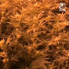 Bientôt une filière de cannabis médical «made in France»?