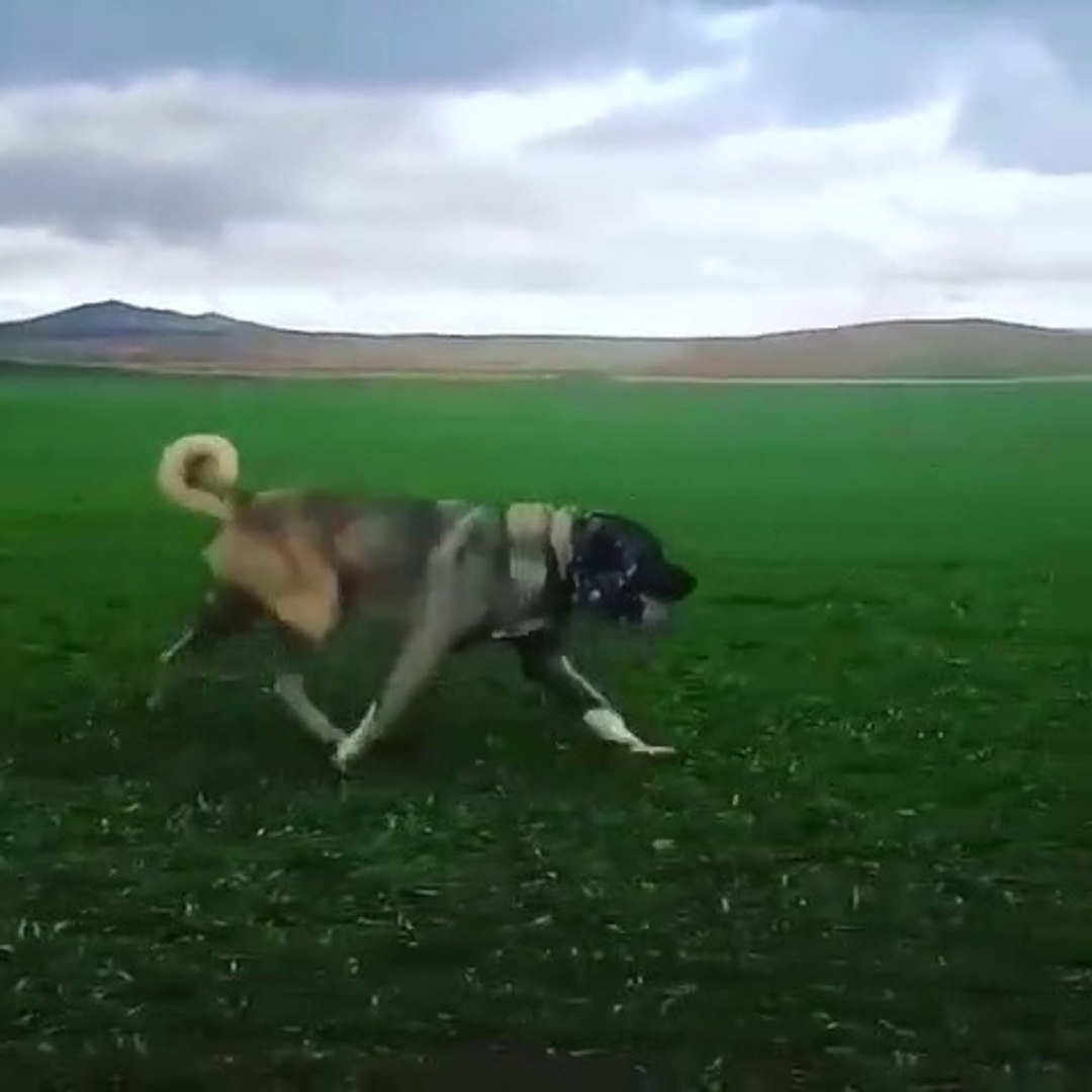 COBAN KOPEGi SPOR YAPARKEN TOPRAGI TiTRETiYOR - ANATOLiAN SHEPHERD DOG at EXERCiSE