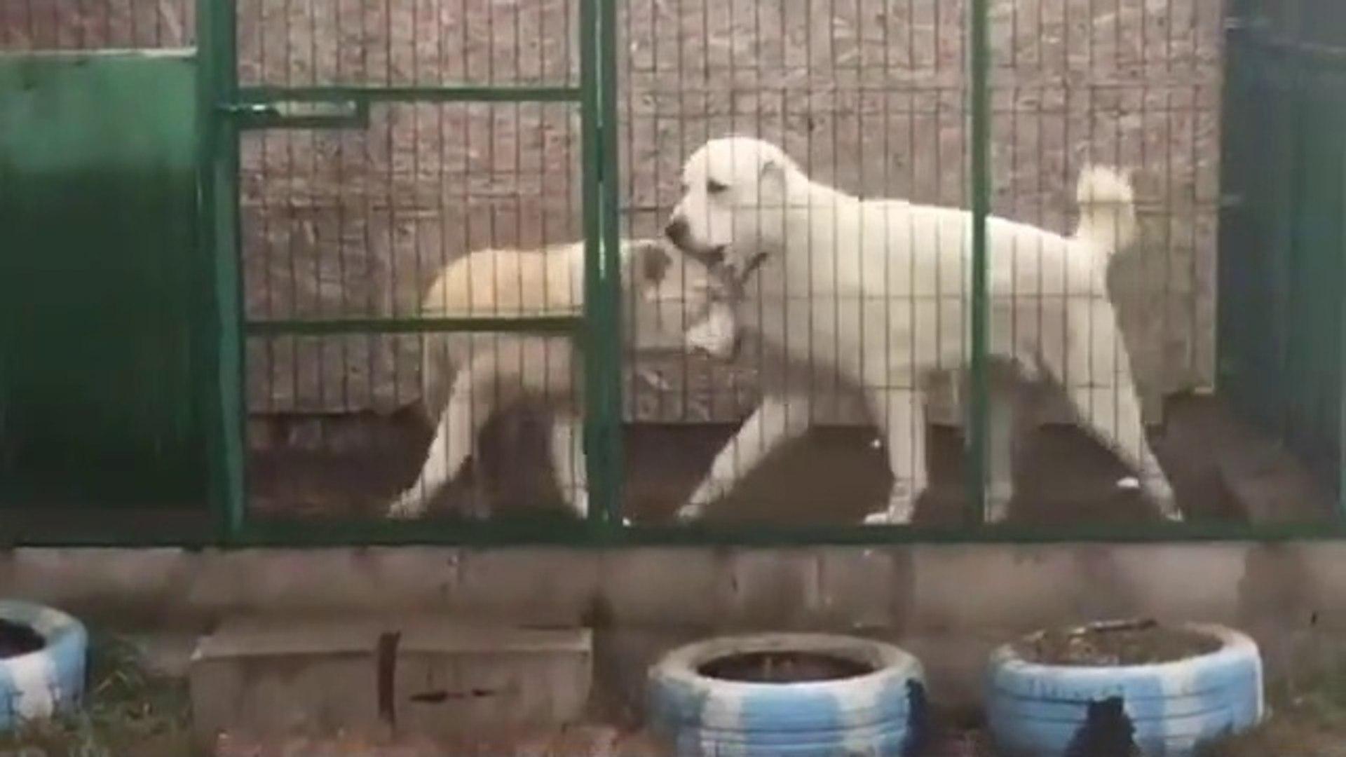 KAFESTE 2 ALABAY COBAN KOPEGi - 2 ALABAi SHEPHERD DOG