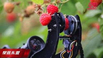 【聚焦东盟 18-09-20】农业领域善用科技     用机器人采摘水果