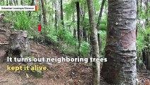 zombie-tree-stump-kept-alive-by-neighboring-trees