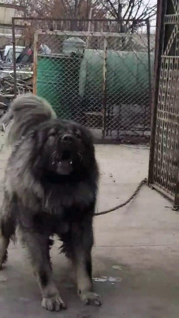 SiNiRLi ve ADAMCI KAFKAS COBAN KOPEGi - ANGRY CAUCASiAN SHEPHERD DOG