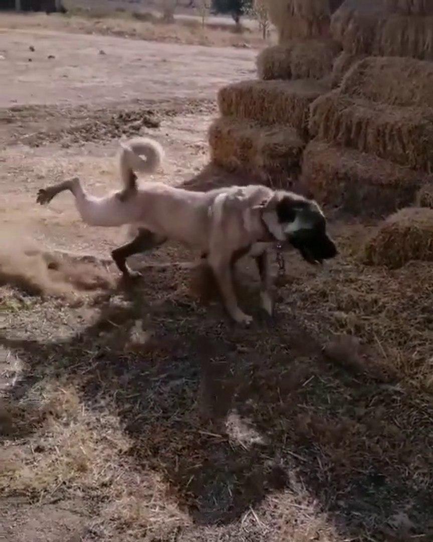4*4 DiSi KANGALCOBAN KOPEGi - FAMELA KANGAL SHEPHERD DOG