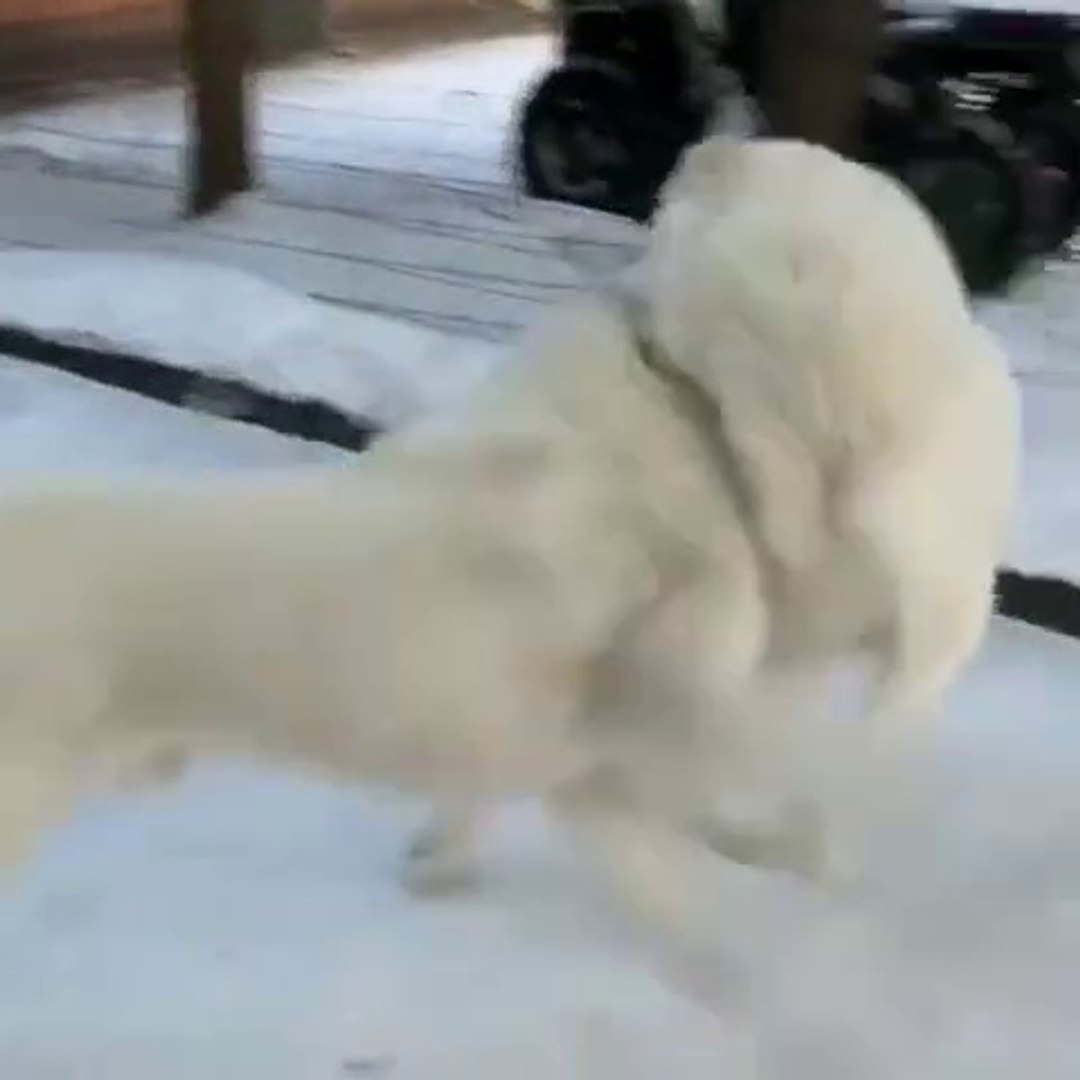 ALABAY COBAN KOPEKLERiNiN KAR SEViNCi - ALABAi SHEPHERD DOG and SNOW GAMES